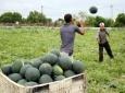 بطيخ موسم البطيخ